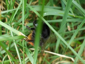 Orange Tailed bumblebee