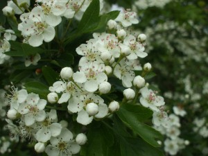 may blossom - hawthorn