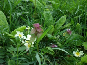 red dead nettle and primrose